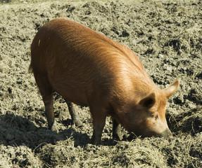 Tamworth pig in sty