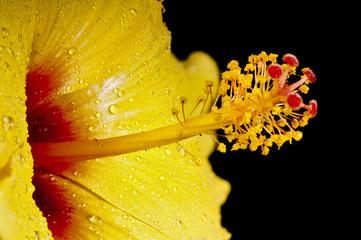 Macro of yellow and red Hibiscus mflower