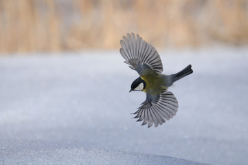 Flying Great tit above snow