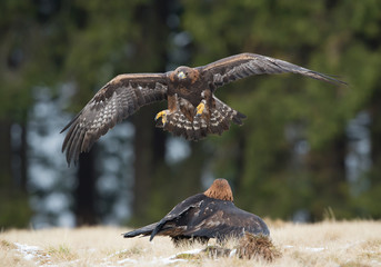 One golden eagle flying over the other one, with clean background, Czech Republic, Europe