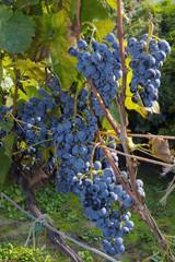 Grape Othello