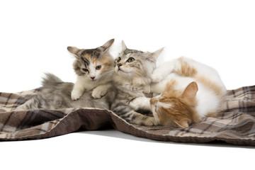 three kittens Kuril Bobtail