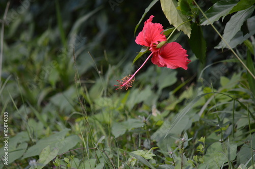 Belle Fleur D Hibiscus Rouge Stock Photo And Royalty Free Images On