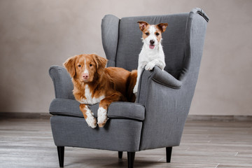 Dogs Jack Russell Terrier and Dog Nova Scotia Duck Tolling Retriever