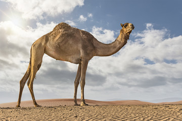 Camel in the desert