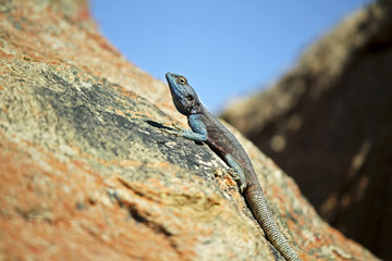 Southern Rock Agama lizard, Namibia, Africa