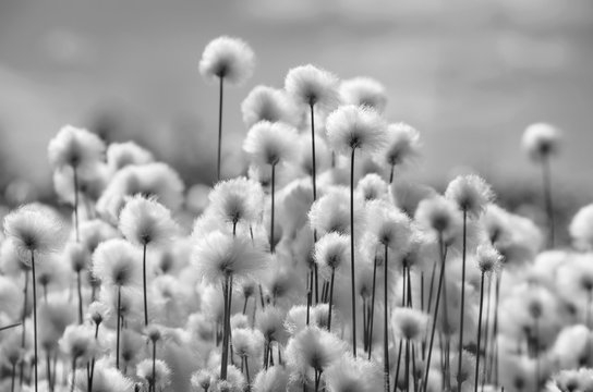 Spring landscape with blooming cotton grass in black and white