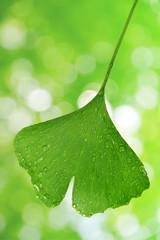 ginkgo biloba leaf with dew drops on green natural background