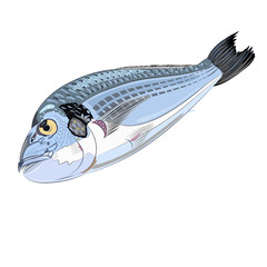 Sparus aurata illustration fish seafood
