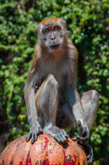 Portrait of a monkey (macaque), who sits and stares into the camera