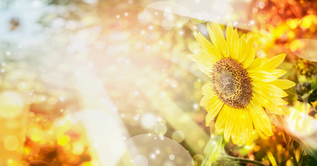 Summer or autumn nature background with pretty sunflower , outdoor scenery