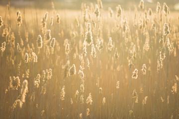 reeds, cane, sunset