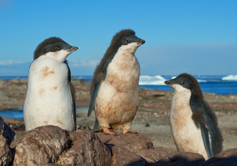 Three young Adelie penguins standing on the rock, with blue sky and sea in background, Antarctic Peninsula