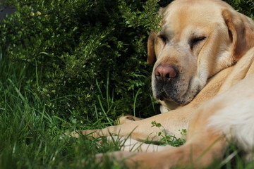 Labrador is resting in the sun in a green grass