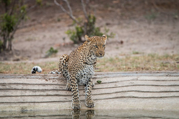 Leopard at a waterhole