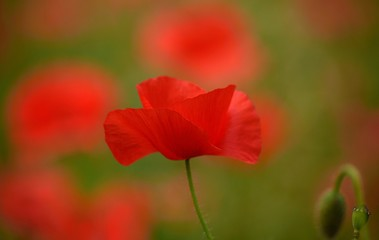 Beautiful red poppy isolated of intense color