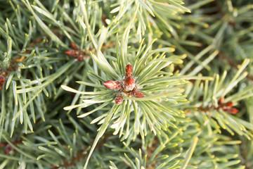 green dwarf mountain pine