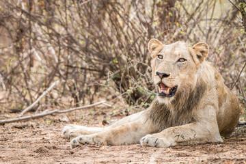 Laying Lion