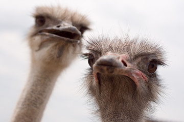 Adult ostriches