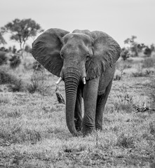 An Elephant walking towards the camera in black and white