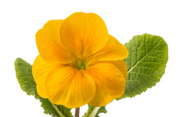 Wall Mural - yellow primrose