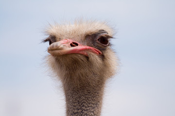 An adult ostrich