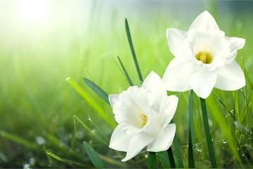Papiers peints Narcisse Flower.