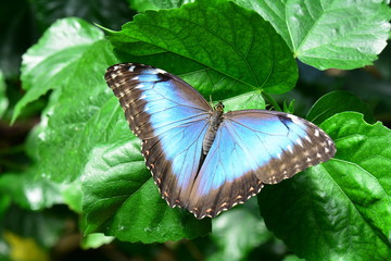 A pretty blue morpho butterfly lands in the gardens for a visit.