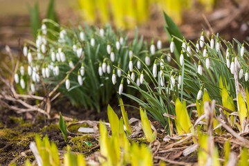 Snowdrops flowers blooming