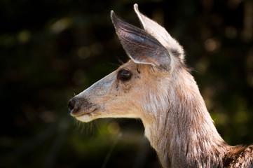 Female deer in Montana