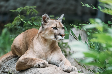 Beautiful portrait of a Cougar