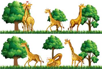 Giraffes resting in the field