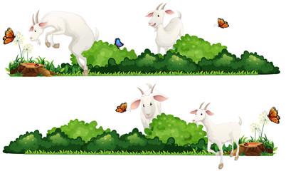 White goats in the garden