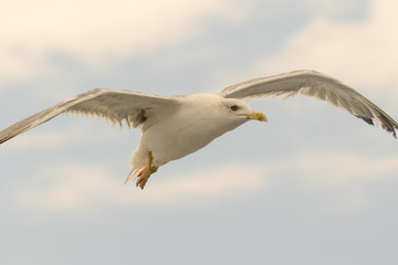Close up portrait of a seagull up in the sky.