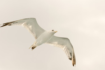 White seagull up in the air with wings wide open.