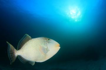 Fish underwater and sun (Yellowmargin Triggerfish)