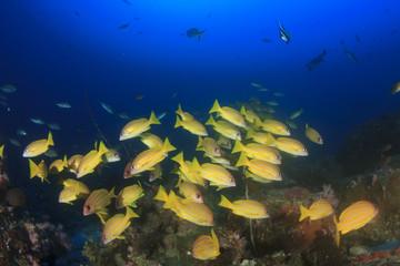 Fish schooling on underwater coral reef