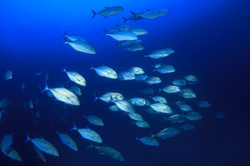School Bigeye Trevally fish (Jackfish)