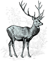 Engraving illustration of deer