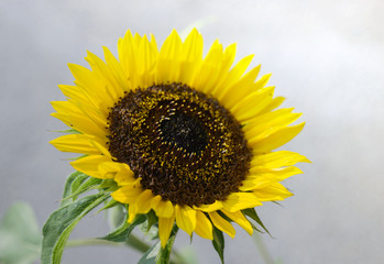 macro of sunflower,