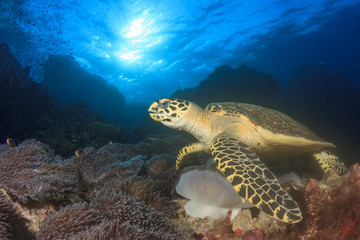 Hawksbill Sea Turtle feeding on coral reef underwater