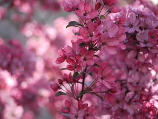 Zweig von Zierapfel vor rosaroter Blütenwolke