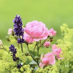 Rose, Lavendel und Frauenmantel
