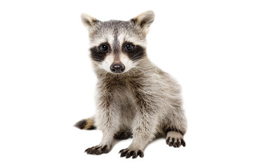Portrait of cute raccoon