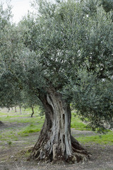 Photo on textile frame Olive tree olijfboom