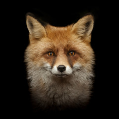 red fox face isolated on black