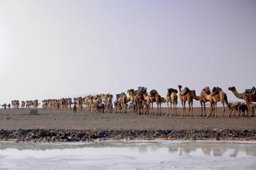 Afar herders drive a camel and donkey caravan. Danakil-Ethiopia. 0275