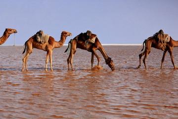 Afar herder drives a camel caravan. Danakil-Ethiopia. 0278