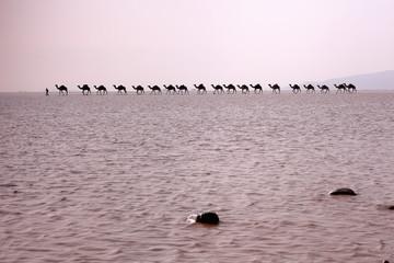 Afar herder drives a camel caravan. Danakil-Ethiopia. 0284