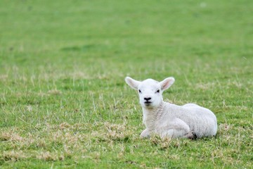 lamb sheep baby background sitting in the field with copy space